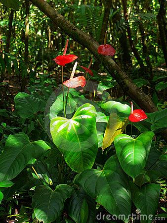 Anturium Andreego, Anthurium andreanum wśrodowisku naturalnym