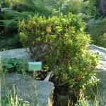 Rhododendron furrugineum