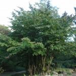 Parocja perska - Parotia persica