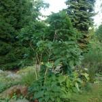 Dąb pontyjski - Quercus pontica