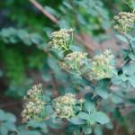 Tawuła nippońska - Spiraea nipponica