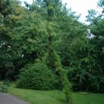 Sosna smołowa - Pinus rigida