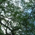 Glediczja trójcierniowa - Gleditsia triacanthos
