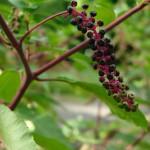 Szkarłatka amerykańska - Phytolacca americana