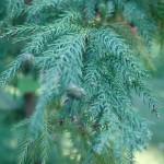 Szydlica japońska - Cryptomeria japonica
