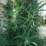 Aloes drzewiasty Aloe arborescens