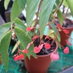 Begonia białonakrapiana Begonia albopicta