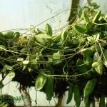 Diszidia Rafflesa DIschidia rafflesiana