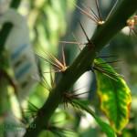 Drzewidło wielkokwiatowe Pereskia grandiflora