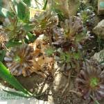 Eonium drzewiaste Aeonium arboreum