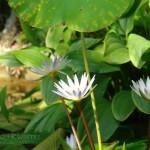 Grzybień biały Nymphea alba