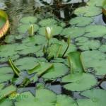 Grzybień egipski Nymphaea lotus