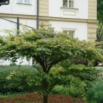 Klon palmowy Acer palmatum