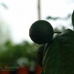 Limonka Citrus aurantifolia