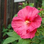 Malwa różowa Alcea rosea