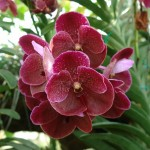 Storczyk Orchidea Vanda