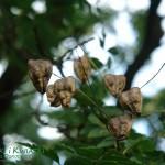 Roztrzeplin wiechowaty Koelreuteria paniculata