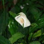 Skrzydłokwiat Wallisa SPathihyllum wallisii