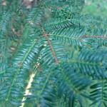 Torreja orzechowa Torreya nucifera