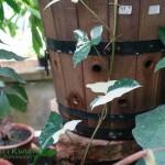Zroślina stopowcowa Syngonium podophyllum