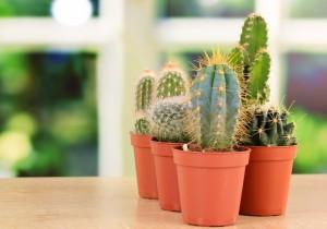 Kaktusy kaktus