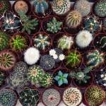 Najpopularniejsze domowe kaktusy