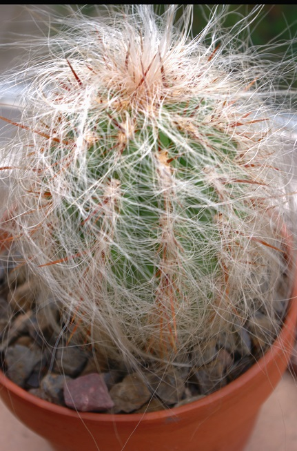 Cephalocereu ssinensis - Głowa Starca