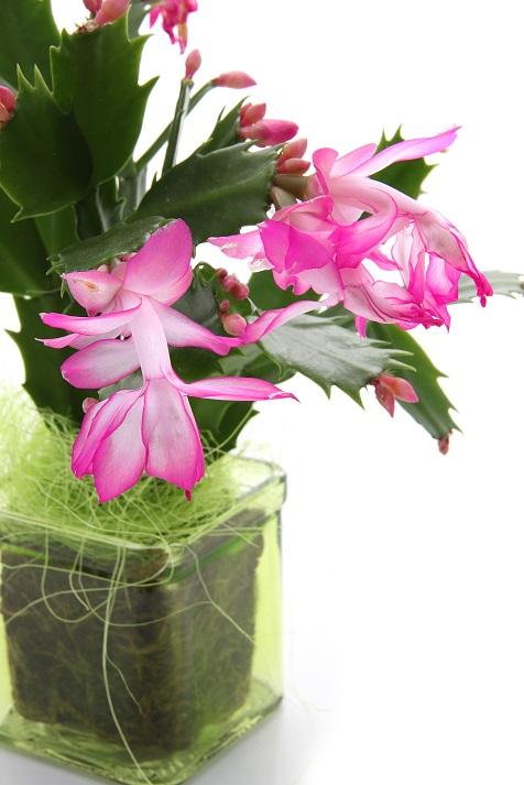 Schlumbergera truncata - kaktus bożonarodzeniowy