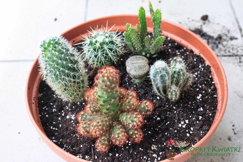 kaktusy wdoniczce