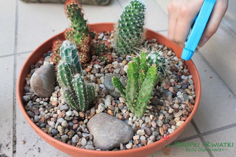 zraszanie kaktusów
