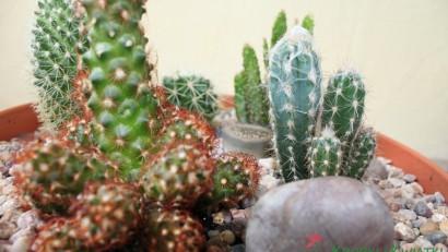 kaktusowy ogród w doniczce