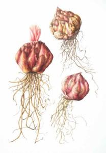 korzenie lilia