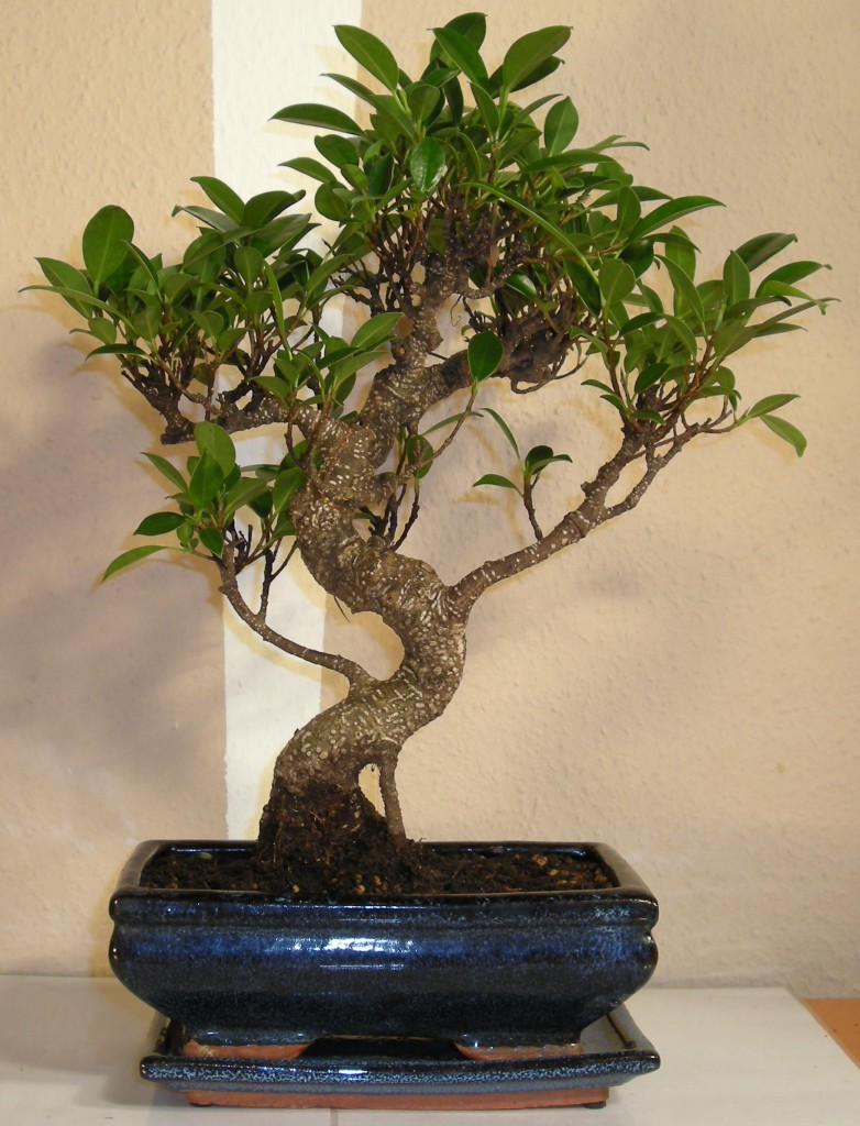 fikus tępy bonsai