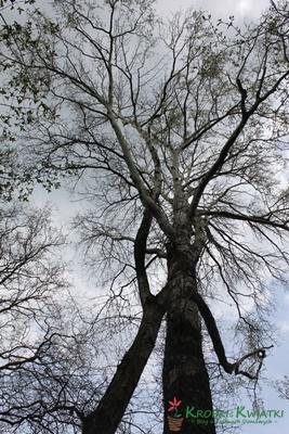 kórnik arobretum wysokie drzewa