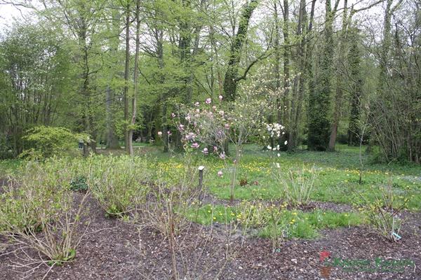 kórnik arboretum magnolie