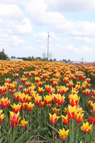 chrzypsko wielkie tulipany