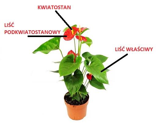 Anturium - infografika - liść podkwiatostanowy ikwiatostan