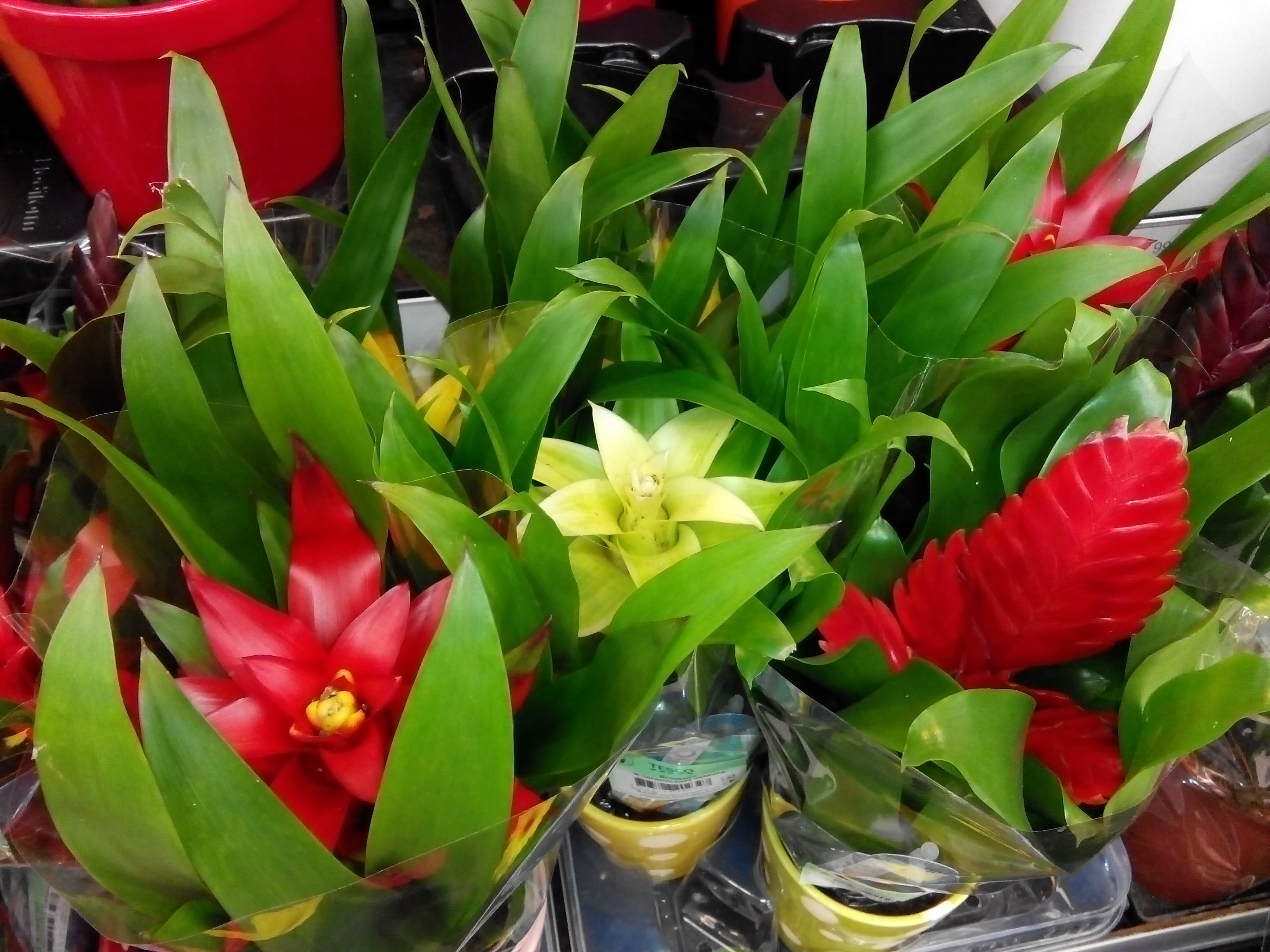 Photo of Bromelia, Guzmania, Echmea, Frizea – co gdy przekwitnie?