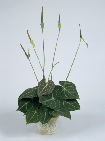 Anturium powabne - Anthurium crystallinum