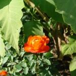 Róża - Rosa
