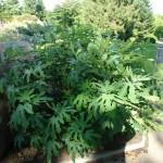 Figowiec pospolity - Ficus carica