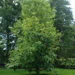 Magnolia parasolowata - Magnolia tripetala