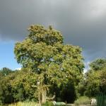 Bożodrzew gruczołowaty - Ailanthus altissima