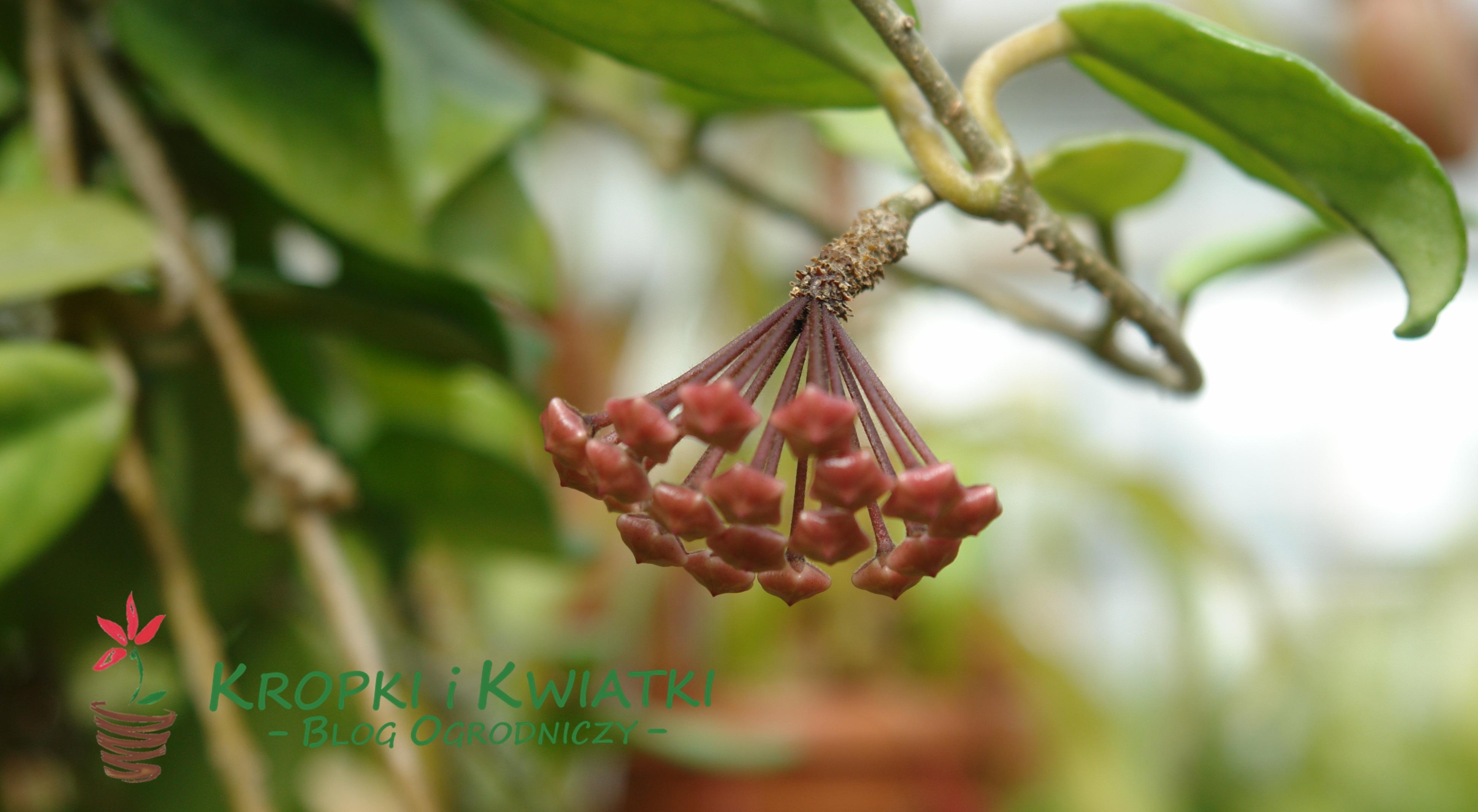 Hoja różowa Hoya carnosa