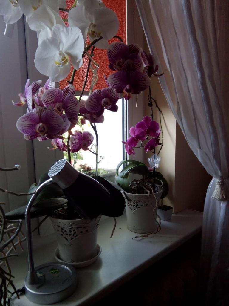 Storczyk (Phalaenopsis, Orchidea) - Jak podlewać storczyki?