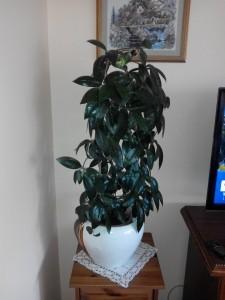 Hoja różowa - Hoya carnosa