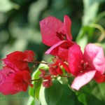 Bugenwilla Bougenvillea