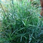 CIbora zmienna Cyperus alternifolius