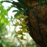 Cyrtopodium andersonii