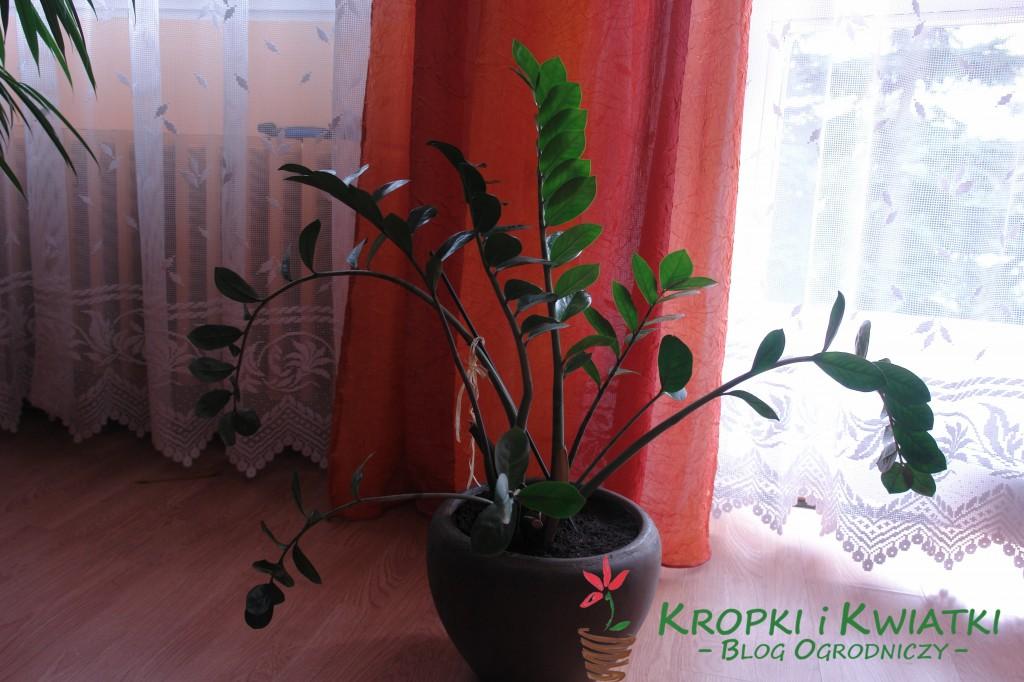 Zamiokulkas zamiolistny - Zamioculcas zamiifolia
